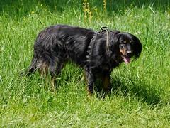 PIC15310-G81 (daniele.hauenstein) Tags: hund hovawart
