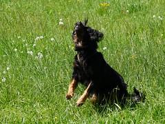 PIC15314-G81 (daniele.hauenstein) Tags: hund hovawart
