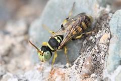 Cerceris boetica male on ground (Juan Briantspuddle) Tags: cercerisboetica crabronidae philanthinae cercerini nectanebus