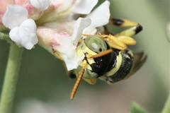 Cerceris boetica male face (Juan Briantspuddle) Tags: cercerisboetica crabronidae philanthinae cercerini dorycniumpentaphyllum