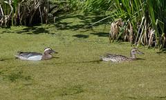 Чирок-трескунок - Garganey (SvetlanaJessy) Tags: природа птицы чирок bird birds garganey anasquerquedula