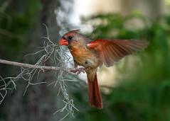 Stubborn Nesting Material (PeterBrannon) Tags: bird cardinal cardinaliscardinalis femalecardinal florida nature nesting nestingmaterial northerncardinal redbird wildlife moss