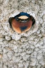 Cliff Swallow (ayres_leigh) Tags: swallow cliff tommythompson toronto ontario wildlife bird nature animal avian canon 100400mm park tripod nesting