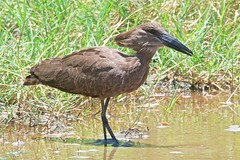 500_4019 (Bird Brian) Tags: hamerkop