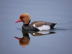 Red crested pochard (PhotoLoonie) Tags: duck waterbird wildlife nature waterreflection reflection redcrestedpochard