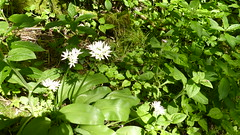 2019054ymd Wlk frm Ashford in the Water_0038 Great Shacklow Wood~Wild Garlic~Allium ursinum (paul_slp5252) Tags: derbyshire walking hiking whitepeak greatshacklowwood wildgarlic alliumursinum