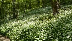 2019054ymd Wlk frm Ashford in the Water_0043 Great Shacklow Wood~Wild Garlic~Allium ursinum (paul_slp5252) Tags: derbyshire walking hiking whitepeak greatshacklowwood wildgarlic alliumursinum