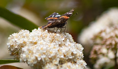 Butterfly (Markspitz15) Tags: canon eos 70d barcelona butterfly mariposa insecto macro flores