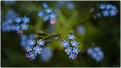 2019-05-20 -St Petersburg, Russia, 013 (Mandir Prem) Tags: forgetmenot flowers beauty nature spring composition 3d volume space blue green heart nostalgy