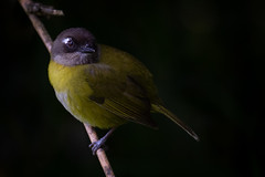 Common Bush Tanager (ToriAndrewsPhotography) Tags: commonbushtanager low key costa rica photography art tori andrews