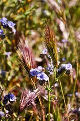 Grassed up, ready to go (twodeserts) Tags: wildflowers wildgrass phacelia anzaborregodsp coyotecanyon