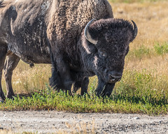 2018-07-SK-Grasslands-03 (gabbert_james) Tags: bison saskatchewan canada grasslands national park