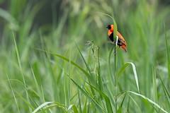 L'Euplecte ignicolore Southern Red Bishop (Le Méhauté Sébastien) Tags: oiseau bird wildlife sauvage nature kruger south africa