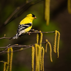 American Goldfinch 20190512-_DSC2339 (Prairieworks Pictures) Tags: americangoldfinch spinustristis yellow birch birds spring trees wildlife nature songbirds finch sonyalpha