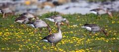 Grågås (Internaut_) Tags: fugl fulger bird birds herdla grågås gås goos wildlife scandinavianbirds norskefugler
