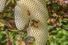 Close up of the comb left by the swarm of bees (Matchman Devon) Tags: bees swarm garden house yelverton comb