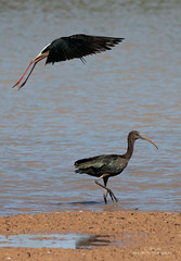 Ibis and Stilt (Red Gecko Photography) Tags: stilt glossy ibis nature lagoon water flying attack altercation