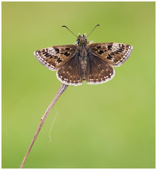 Dingy Skipper (nigel kiteley2011) Tags: dingyskipper butterfly butterflies lepidoptera nature macro insects canon 5dmk3 sigma180mm