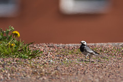 Sädesärla (Henrik Axelsson) Tags: bergslagen ludvika bird fågel landsbygd