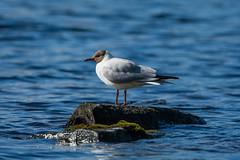 Skrattmås (Henrik Axelsson) Tags: bergslagen ludvika bird fågel lake landsbygd rock sjö spring sten vatten vår water