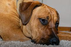 der Denker (mopro73) Tags: daheim franzi hund tiere