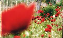 * (PattyK.) Tags: ioannina giannena giannina epirus ipiros balkans hellas ellada europe europeanunion greece grecia griechenland mycity whereilive snapseed nikond3100 poppies red spring may 2019 ιωάννινα γιάννενα ήπειροσ ελλάδα ελλάσ βαλκάνια ηπόλημου όμορφηπόλη παπαρούνεσ κόκκινο άνοιξη μάιοσ
