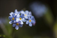 20190512. Forget-me-not. Myosotis alpestris. 8020 (Tiina Gill (busy)) Tags: estonia outdoor spring nature flower flora plant forgetmenot myosotisalpestris