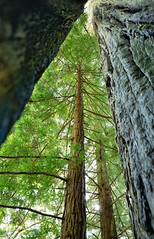 Looking Up 4 (Greg Adams Photography) Tags: redwood trees bark trunk green sky light giants towering park nature preserve peaceful serene amazing wilderness california northerncalifornia calif ca april 2019 spring roadtrip hhsc2000 travel