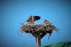 When Your Spouse is Being Dramatic II (Michiale Schneider) Tags: osprey raptors nature birds nest dingdarlingwildliferefuge sanibelisland florida michialeschneiderphotography