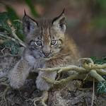 Lynx @ Wildpark Feldkirch 21-06-2018