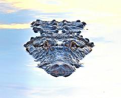 Upclose (dina j) Tags: floridawildlife floridaanimals florida animal wildlife alligator gator orlando nikon nikond7200 gatorland