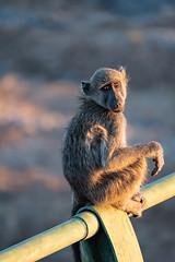 Mr. Ape (Just_Maze) Tags: monkey affe ape africa afrika wildlife kruger nationalpark