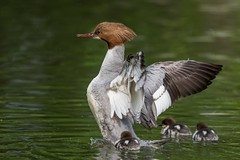Goosander (JS_71) Tags: nature wildlife nikon photography outdoor 500mm bird new spring see natur pose moment outside animal flickr colour poland sunshine beak feather nikkor d500 wildbirds planet global national wing eye watcher