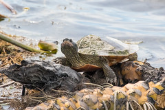 point-pelee-2019-3334 (ericvdb) Tags: pointpelee nationalpark ontario canada turtle