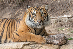 Rakan (ToddLahman) Tags: rakan tiger tigers tigertrail sandiegozoosafaripark safaripark closeup portrait photooftheday profileheadshot photography photographer mammal male outdoors beautiful nikond500 nikonphotography nikon escondido eyelock