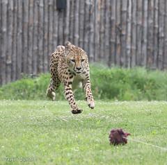 234A1207.jpg (Mark Dumont) Tags: cheetah teagan zoo mammal dumont cat cincinnati