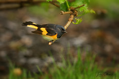 american redstart male (lindapp57) Tags: americanredstart bird