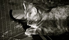 In deep thought (Dee Gee fifteen) Tags: crazytuesday lowkey cat pinky sunlight shadows bw animal patterns rugs moody