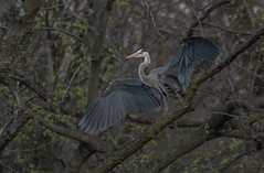 Great Blue Heron. (Estrada77) Tags: greatblueheron herons bigbirds perched wildlife foxriver kanecounty illinois birds birding nature animals nikon nikond500200500mm outdoors spring