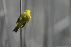 Yellow warbler (Setophaga petechia) (octothorpe enthusiast) Tags: lemoinepointconservationarea setophagapetechia yellowwarbler kingston ontario