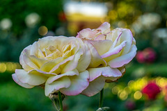 Tea rose (agasfer) Tags: 2019 southcarolina greenville furman swanlake sony a6000 sonye456355210oss flowers rosarium