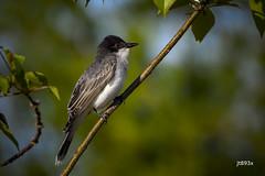 Eastern Kingbird (jt893x) Tags: 150600mm bird d500 easternkingbird flycatcher jt893x kingbird nikon nikond500 sigma sigma150600mmf563dgoshsms songbird tyrannustyrannus coth alittlebeauty thesunshinegroup coth5 sunrays5