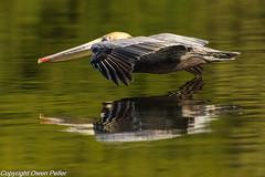 2019.Alafia.March.22-1108.jpg (owenpeller) Tags: brown pelican 2019 alafia brownpelican