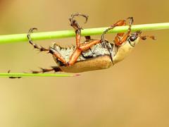 American Rose Chafer (treegrow) Tags: nature lifeonearth maryland idylwild arthropoda insect coleoptera beetle raynoxdcr250 macrodactylussubspinosus scarabaeidae