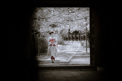 Maiko_20190409_121_18 (Maiko & Geiko) Tags: 20190409 myokenji temple kanohisa kyoto maiko 舞妓 妙顕寺 叶久 京都 叶家 kanoya ksumika