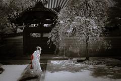 Maiko_20190409_121_17 (Maiko & Geiko) Tags: 20190409 myokenji temple kanohisa kyoto maiko 舞妓 妙顕寺 叶久 京都 叶家 kanoya ksumika