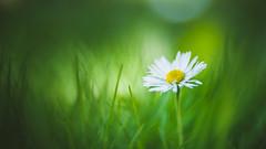 Daisy (Dhina A) Tags: sony a7rii ilce7rm2 a7r2 a7r hugo meyer kinon superior 5cm kinonsuperior5cm 50mm projection projector lens bokeh swirly manualfocus daisy flower