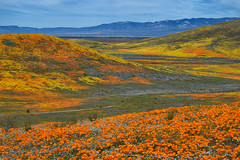Colors of Antelope Valley (rajaramki) Tags: superbloom superbloom2019 antelopevalley