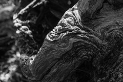 In what do we trust (Raphs) Tags: suserupskov denmark danmark blackandwhite monochrome wood gnarled old weathered detail light shadow dof structure raphs canoneos70d canonefs1585mmf3556isusm