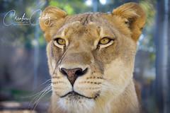 African Lioness (CreatureCatalog) Tags: animals nature lion africa lioness